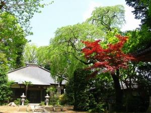 芳全寺の枝垂れ桜