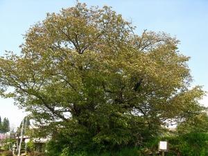茂木の大桜