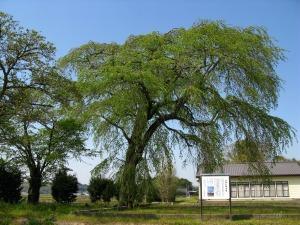 学校跡地の枝垂れ桜