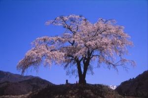 スキャンした上発知の枝垂れ桜