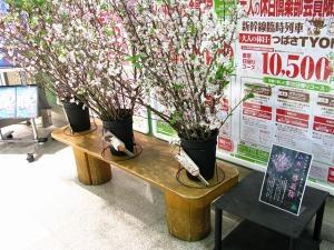 早咲きの、けいおう桜