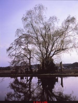 朽ち木の柳と水田