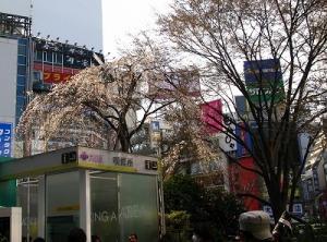 渋谷の枝垂れ桜