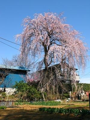 保木の枝垂れ桜