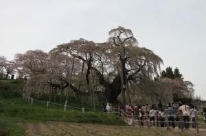 今年の滝桜・満開をすぎて落花はじめ!